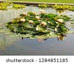 waterlilies in a botanic garden   Shutterstock . vector #1284851185