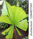 australian fan palm in a...   Shutterstock . vector #1284857545