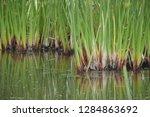 aquatic reeds in a pond in...   Shutterstock . vector #1284863692