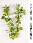 common gooseberry botanical...   Shutterstock . vector #1284880972