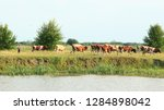 cows grazing on green farm... | Shutterstock . vector #1284898042