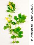 celandine botanical board   Shutterstock . vector #1284902608
