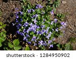 violets flowers as very nice... | Shutterstock . vector #1284950902