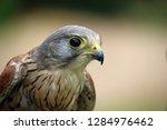 head and shoulders of a kestrel ... | Shutterstock . vector #1284976462