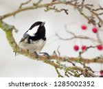 one coal tit  periparus ater ... | Shutterstock . vector #1285002352