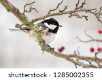 one coal tit  periparus ater ... | Shutterstock . vector #1285002355