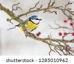 one eurasian blue tit ... | Shutterstock . vector #1285010962