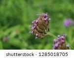 purpletop vervain tall...   Shutterstock . vector #1285018705