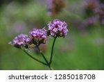 purpletop vervain tall...   Shutterstock . vector #1285018708