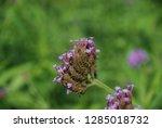 purpletop vervain tall...   Shutterstock . vector #1285018732