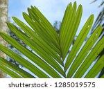 snake fruit leaves | Shutterstock . vector #1285019575