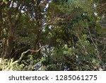 trees in subtropical rainforest ... | Shutterstock . vector #1285061275