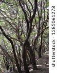 trees in subtropical rainforest ... | Shutterstock . vector #1285061278