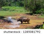 water buffalo in yala national... | Shutterstock . vector #1285081792