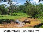 water buffalo in yala national... | Shutterstock . vector #1285081795