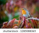 European Robin Taken In Uk...