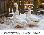 Winter. Pet Two Birds Goose...