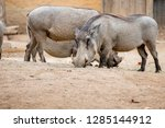 portrait of warthog | Shutterstock . vector #1285144912