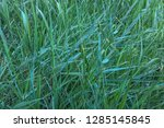 texture of plants for design.... | Shutterstock . vector #1285145845