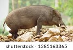 close up. the black boar in... | Shutterstock . vector #1285163365