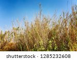 dry dried tall grass against... | Shutterstock . vector #1285232608