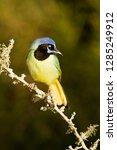 green jay  cyanocorax yncas  in ... | Shutterstock . vector #1285249912
