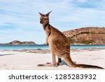 kangaroo on the beach australia   Shutterstock . vector #1285283932