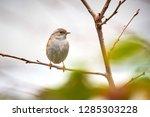 dunnock  prunella modularis ... | Shutterstock . vector #1285303228