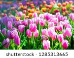 colorful of tulip flowers and... | Shutterstock . vector #1285313665