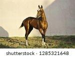 golden akhal teke stallion...   Shutterstock . vector #1285321648