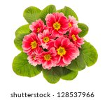 Pink Primulas Isolated On Whit...