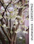 blooming cherry tree. spring...   Shutterstock . vector #1285529962