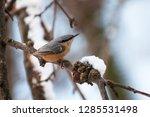 eurasian nuthatch  sitta... | Shutterstock . vector #1285531498