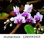 orchidseveral colors ...   Shutterstock . vector #1285592425