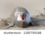 female elephant seal pregnant... | Shutterstock . vector #1285700188