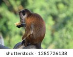Sri Lankan Monkey  Toque...