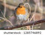 robin bird erithacus rubecula... | Shutterstock . vector #1285746892