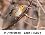 robin bird erithacus rubecula... | Shutterstock . vector #1285746895