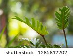 philodendron beautiful shape... | Shutterstock . vector #1285812202