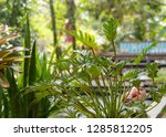 philodendron beautiful and... | Shutterstock . vector #1285812205
