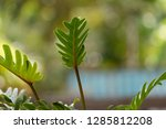 philodendron beautiful shape... | Shutterstock . vector #1285812208