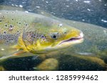 the atlantic salmon  salmo... | Shutterstock . vector #1285999462