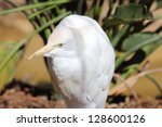 body view of a cattle egret ... | Shutterstock . vector #128600126