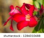 red desert rose or impala lily...   Shutterstock . vector #1286010688