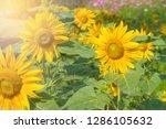 beautiful of sunflower blooming ... | Shutterstock . vector #1286105632