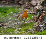robin foraging for food   Shutterstock . vector #1286135845