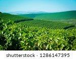Coffee Plantation Of Brazil