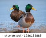 an american black duck x... | Shutterstock . vector #1286158885