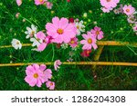 cosmos flowers are blossom over ... | Shutterstock . vector #1286204308