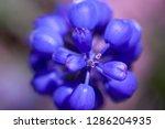 blue muscari flowers close up...   Shutterstock . vector #1286204935